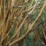 """Arrayanes (Luma apiculata), Parque Nacional Los Ar"" by Irudi"