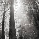 """Redwoods"" by AndrewCooperPhotography"