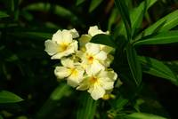 Bunch of Yellow Oleander flowers