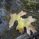 """leaf on mossy log"" by amandahattabaugh"