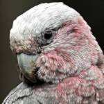 """Galah Daydreams"" by naturespaintbox"