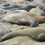 """Elephant Seals Sun bathing"" by eyalna"