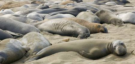 Elephant Seals Sun bathing
