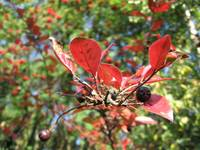 Blackberries on Red Branches