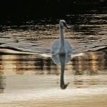 """""""Swan at Sunset"""" by REALart"""