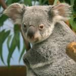 """San Diego Zoo Koala"" by MarkWells"