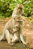 Cute Bali Monkeys
