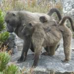 """Baboon Family"" by stuttsPhoto"