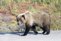 Grizzly Bear Walking by - 12544