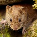 """""""Bank Vole"""" by roger"""