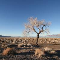 Tree, Pyramid Lake