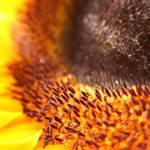 """sunflower"" by freshas"