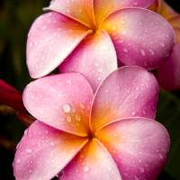 plumeria Art Prints & Posters by Alaskan Exposure