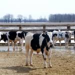 """""""Cows"""" by craglynn"""