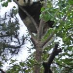 """""""Mei Sheng Climbing Tree_02"""" by Sooperpanna"""