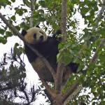 """""""Mei Sheng Climbing Tree_06"""" by Sooperpanna"""
