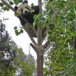 """""""Mei Sheng Climbing Tree_05"""" by Sooperpanna"""