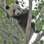 """""""Mei Sheng Climbing Tree_04"""" by Sooperpanna"""