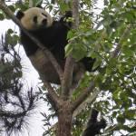 """""""Mei Sheng Climbing Tree_03"""" by Sooperpanna"""