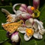 """Skipper in the Lemon Tree"" by HotFlashPhotography"