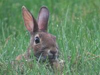 Wary Eastern Cottontail