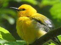 Prothonotary Warbler in Ravine
