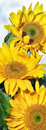 Sunflower Trio