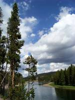 Pine tree along the Yellowstone River