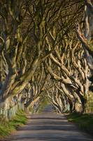 Dark Hedges II