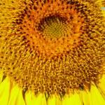 """Sunflower"" by JenHansonDesigns"