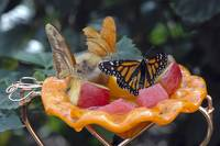 At the Butterfly Buffet