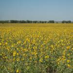 """Acres of Sunflowers"" by photosbytravis"