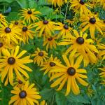"""Black Eyed Susans"" by JenHansonDesigns"