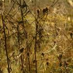 """""""Spiders webs in the early morning light"""" by celtxian"""