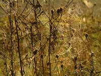 Spiders webs in the early morning light