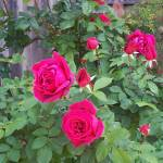 """""""Don Juan red roses"""" by bppy1"""