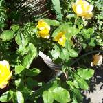 """""""Golden Showers Yellow Rose"""" by bppy1"""