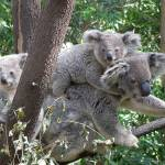 """koala and 2 babies australia"" by shanmaree"