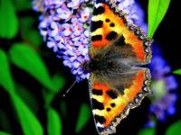 The Small Tortoiseshell Butterfly 2
