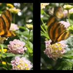 """butterfly couple"" by AdachiPhotography"