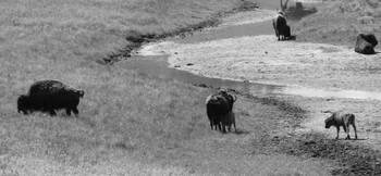 Bison Family (B&W)
