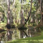 """""""Cypress and Cabbage Palms over Loxahatchee River"""" by CynthiaMBarlow"""