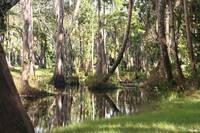 Cypress and Cabbage Palms over Loxahatchee River