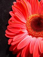 Red Gerbera Daisy Luxurious