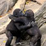 """Gorilla Baby Hug Party"" by hambrick"