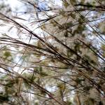 """""""Wispy Branches"""" by emolee84"""
