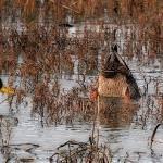 """""""Ducks in the Slough"""" by MyRidgebacks"""