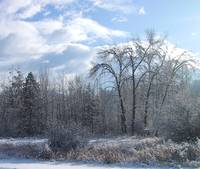 Winter Trees    0601