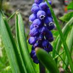 """grape hyacinths"" by enricator"