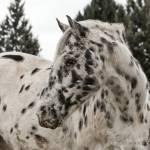 """Appaloosa Horse - Joe the Horse"" by iHorse"